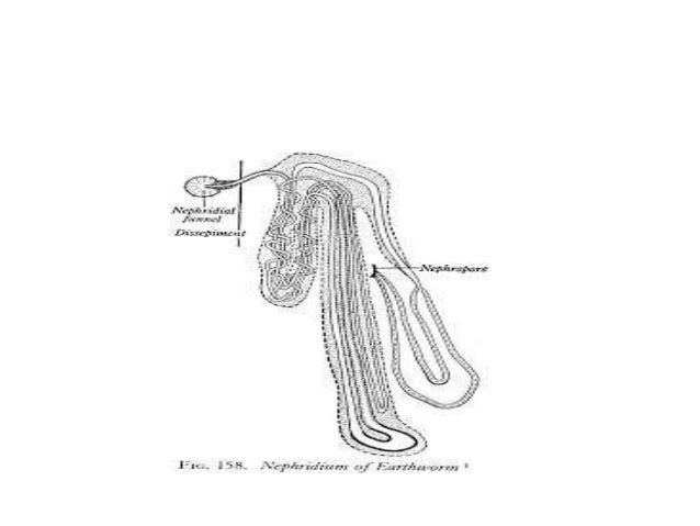 Phylum annelida- excretion in annelida