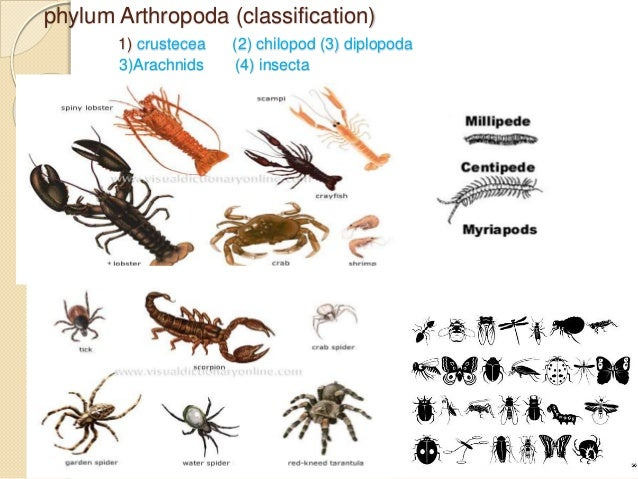 PHYLUM ARTHROPODA CHARACTERISTICS- CLASSIFICATION