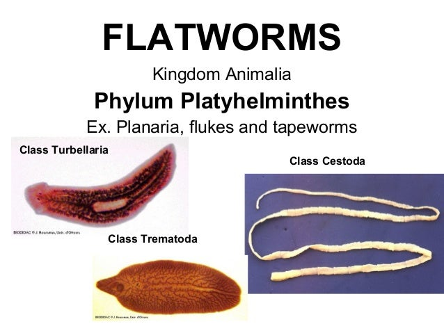 List Of Synonyms And Antonyms Of The Word Platyhelminthes