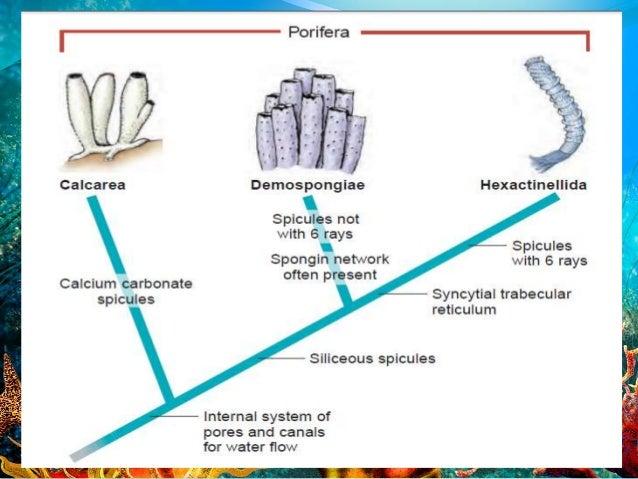 Phylum porifera Sponge Taxonomy