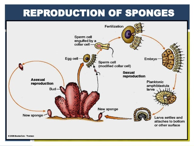 Porifera gemmules asexual reproduction