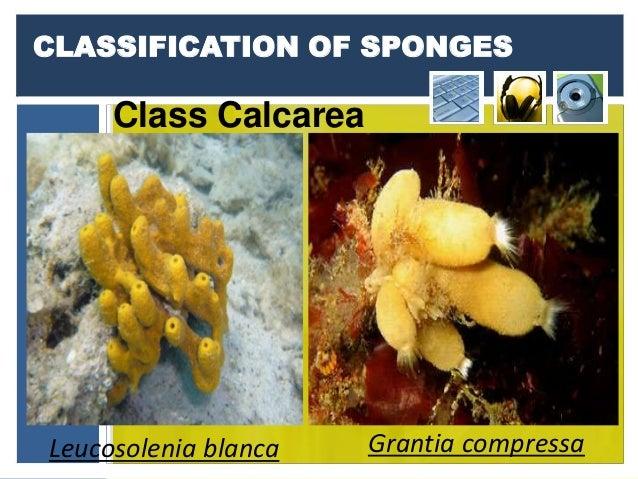 Phylum Porifera  Grantia