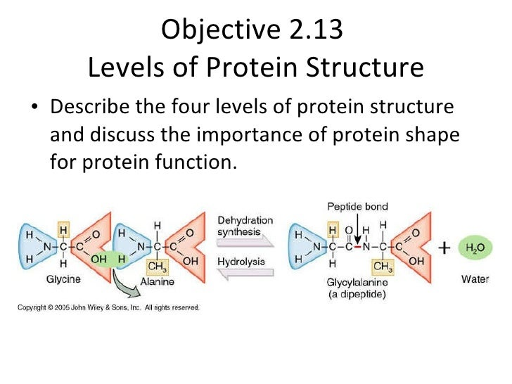 Objective 2.13  Levels of Protein Structure <ul><li>Describe the four levels of protein structure and discuss the importan...