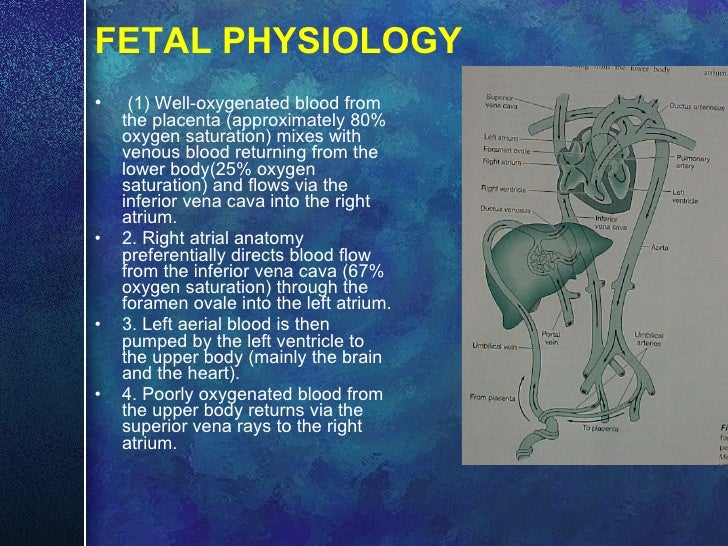 FETAL PHYSIOLOGY <ul><li>(1) Well-oxygenated blood from the placenta (approximately 80% oxygen saturation) mixes with veno...