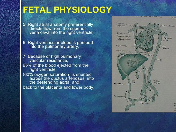 FETAL PHYSIOLOGY <ul><li>5. Right atrial anatomy preferentially directs flow from the superior vena cava into the right ve...