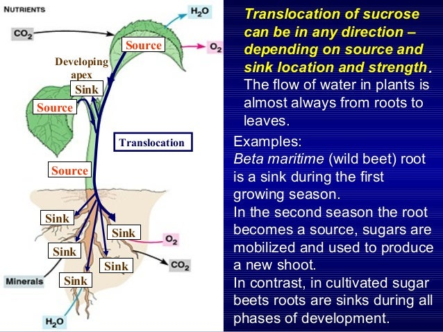 Physiological And Molecular Control Of Sink Activity