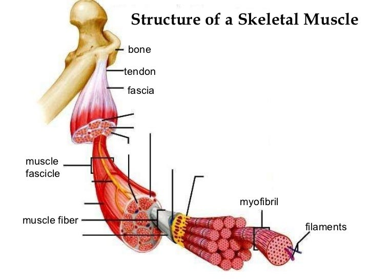 ap chapter 9 muscle physiology Presentation on theme: chapter 9 muscle structure & physiology lecture 16— presentation transcript 11 grasping physiological concepts the steps in a physiological process give you the 'when', ie tell you when things happen and/or the order in which they happen.