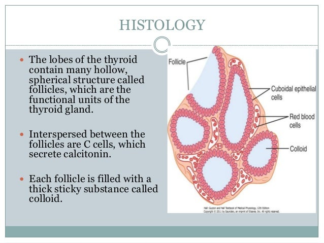 19 Unique Thyroid Gland Histology Labeled