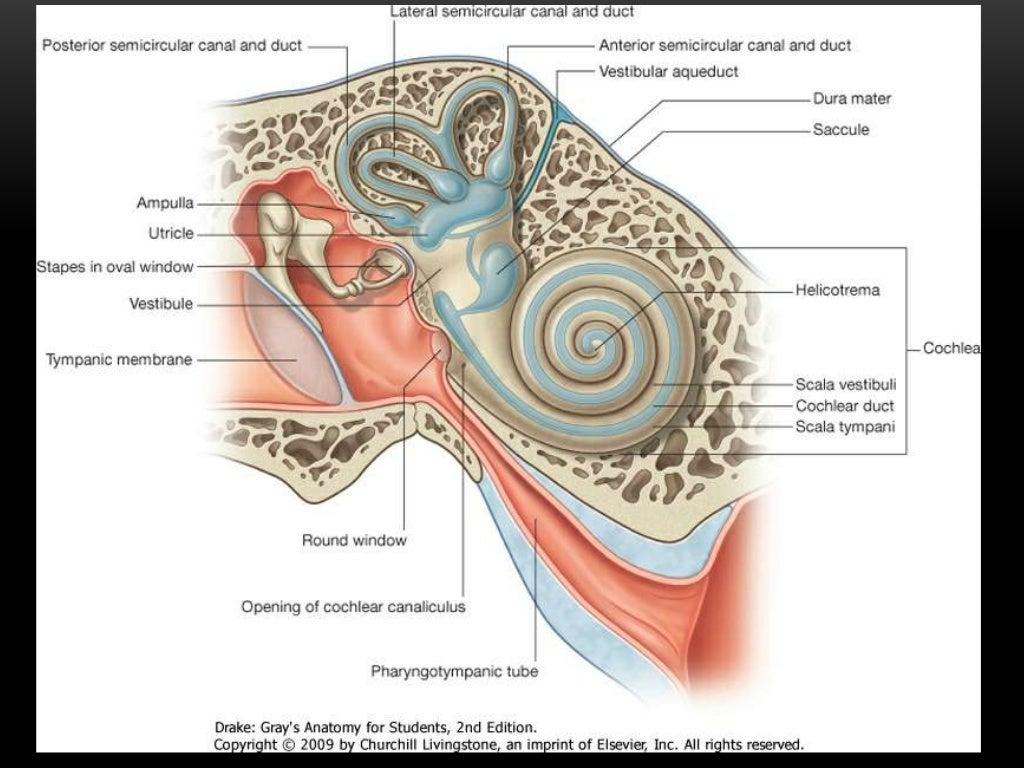 Attractive Anatomy Of Vestibular System Image - Physiology Of Human ...