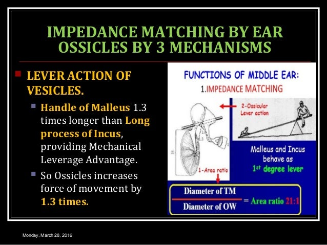 IMPEDANCE MATCHING BY EAR OSSICLES BY 3 MECHANISMS  LEVER ACTION OF VESICLES.  Handle of Malleus 1.3 times longer than L...