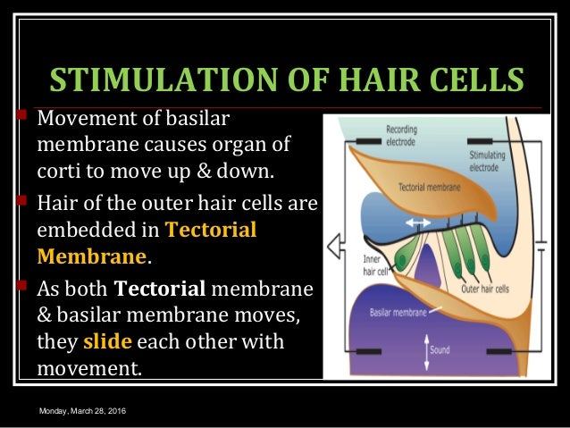 STIMULATION OF HAIR CELLS  Movement of basilar membrane causes organ of corti to move up & down.  Hair of the outer hair...