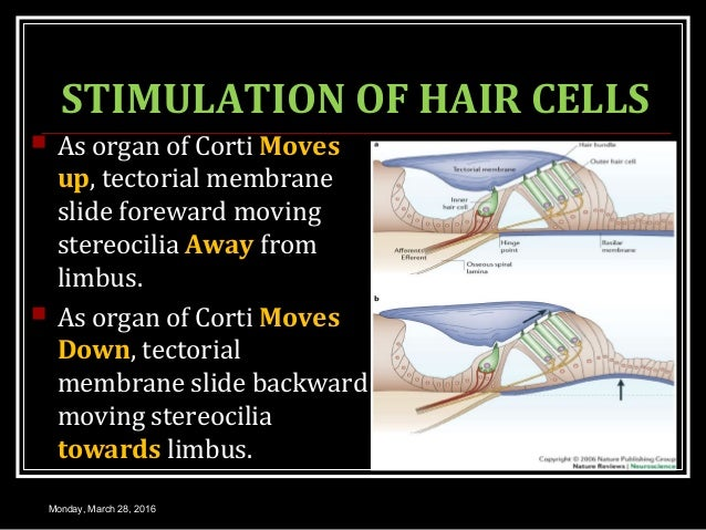 STIMULATION OF HAIR CELLS  As organ of Corti Moves up, tectorial membrane slide foreward moving stereocilia Away from lim...
