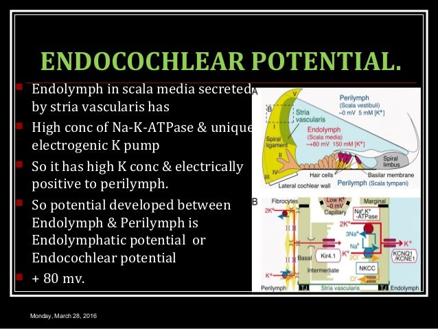 ENDOCOCHLEAR POTENTIAL.  Endolymph in scala media secreted by stria vascularis has  High conc of Na-K-ATPase & unique el...
