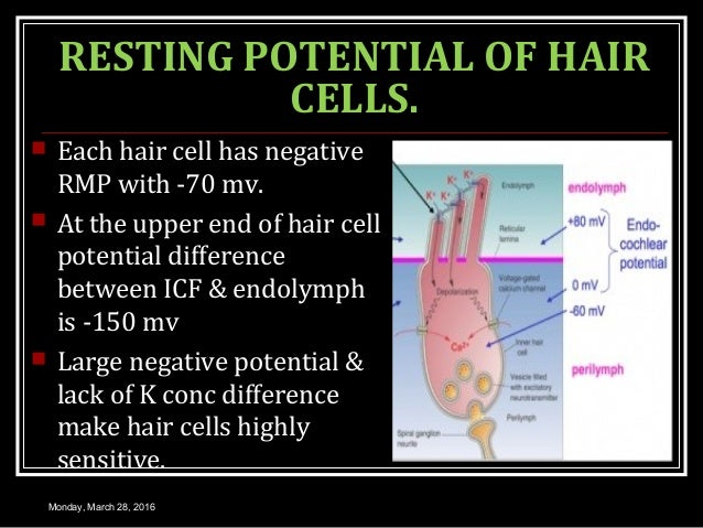 RESTING POTENTIAL OF HAIR CELLS.  Each hair cell has negative RMP with -70 mv.  At the upper end of hair cell potential ...