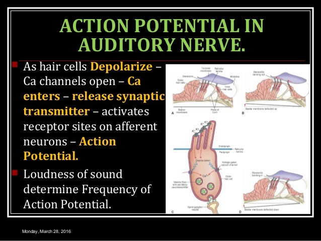 ACTION POTENTIAL IN AUDITORY NERVE.  As hair cells Depolarize – Ca channels open – Ca enters – release synaptic transmitt...
