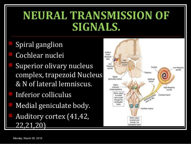 NEURAL TRANSMISSION OF SIGNALS.  Spiral ganglion  Cochlear nuclei  Superior olivary nucleus complex, trapezoid Nucleus ...