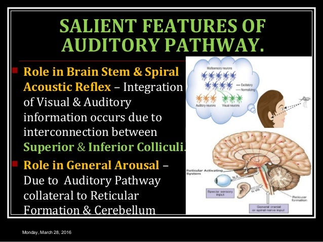 SALIENT FEATURES OF AUDITORY PATHWAY.  Role in Brain Stem & Spiral Acoustic Reflex – Integration of Visual & Auditory inf...