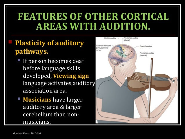 FEATURES OF OTHER CORTICAL AREAS WITH AUDITION.  Plasticity of auditory pathways.  If person becomes deaf before languag...