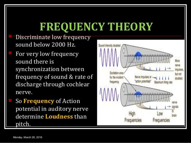 FREQUENCY THEORY  Discriminate low frequency sound below 2000 Hz.  For very low frequency sound there is synchronization...