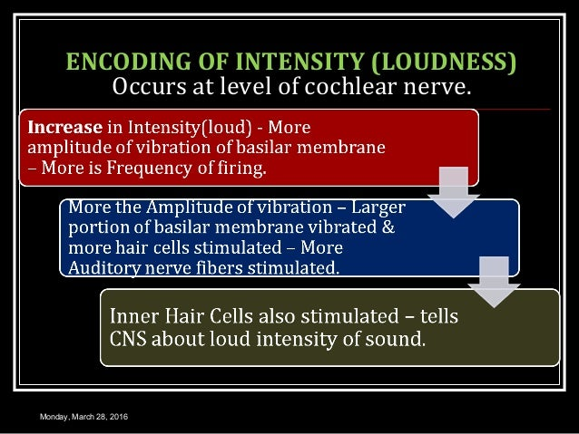 ENCODING OF INTENSITY (LOUDNESS) Occurs at level of cochlear nerve. Monday, March 28, 2016