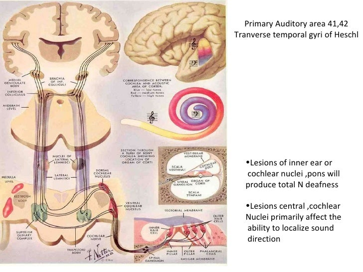Physiology of hearing 21st july 11
