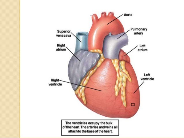 The cardiovascular system and physiology of heart 18 cardiac valves and their functions the human heart ccuart Gallery