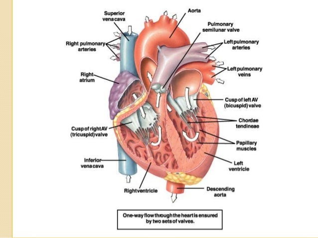the cardiovascular system and Physiology of heart