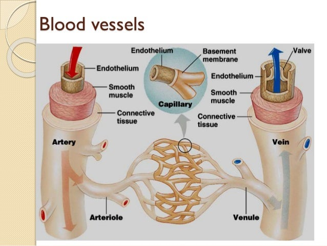 Pressure Drop in theVascular System