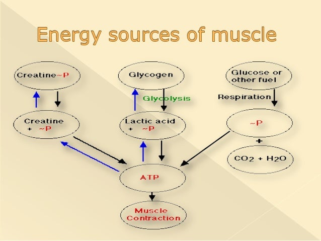 understanding skeletal muscle contraction physiology essay Mader's understanding human anatomy & physiology 7 th  skeletal muscles  muscle contraction lab formal write-up.