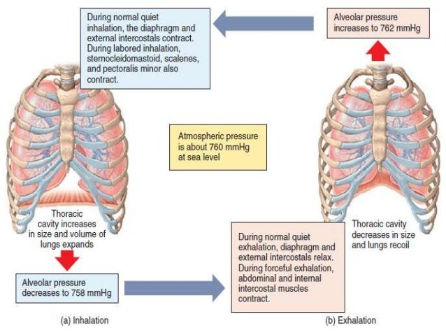 respiratory system physiology rh slideshare net inhaled and exhaled air diagram Diagram of Anerobic Respiration