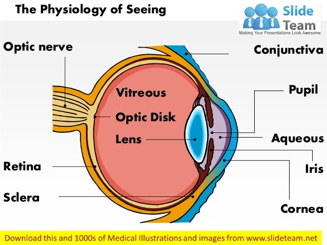 Physiology of seeing eye anatomy medical images for power point