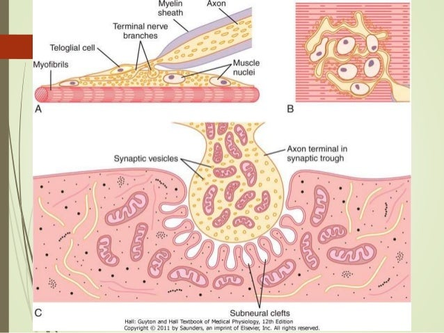 exocytosis and the neuromuscular junction It is unclear whether a complete cycle of exocytosis and endocytosis is always  of three different neuromuscular junctions at the level of the active zone.