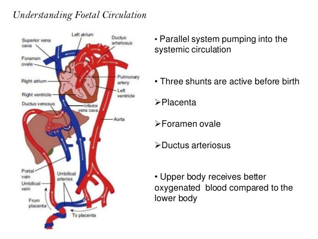 Gastrocnemius Soleus And Tibialis Anterior likewise Glomus Tumours Pakistan in addition Crista dividens further Excretory System furthermore Physiology Of Transition Period With Regard To Cardio. on fetal circulatory system