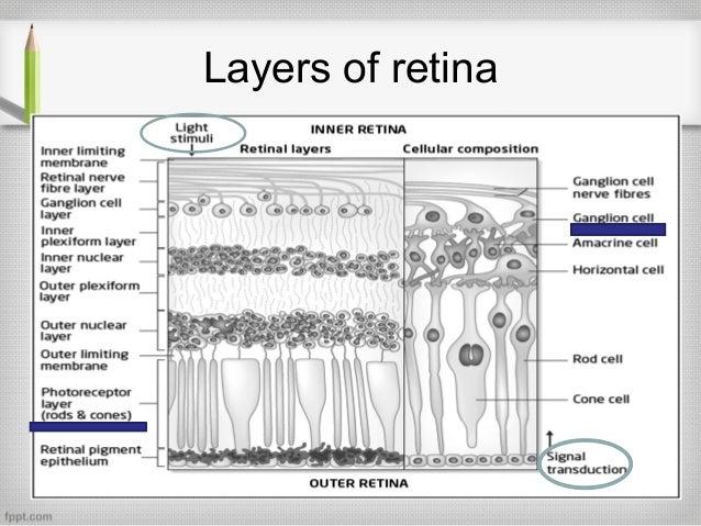 Physiology retina