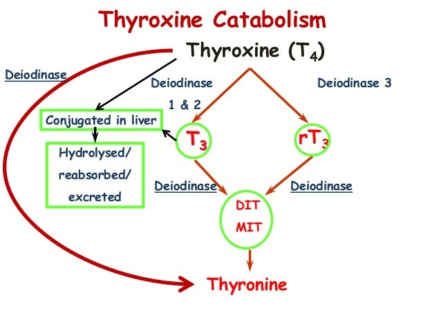 thyroid hormone and corticosteroid