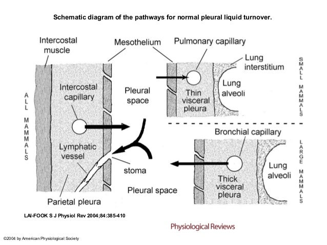 Schematic diagram of the pathways for normal pleural liquid turnover.          LAI-FOOK S J Physiol Rev 2004;84:385-410©20...