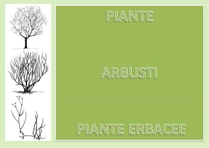 Disegni Piante Erbacee : Piante arbusti erbacee