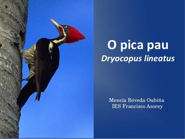 O pica pauDryocopus lineatus MencíaBóvedaOubiña  IESFranciscoAsorey