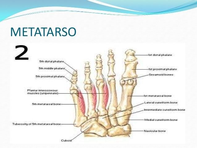 Anatom a de pie for Cuarto y quinto metatarsiano