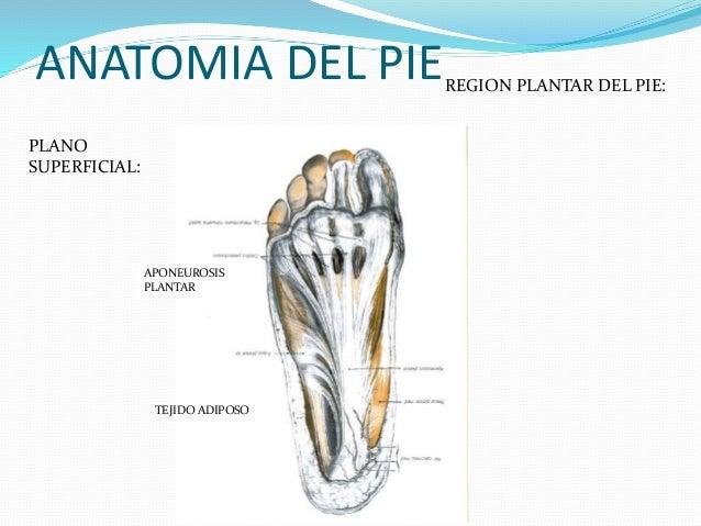 anatomia-del-pie-14-638.jpg?cb=1424957032