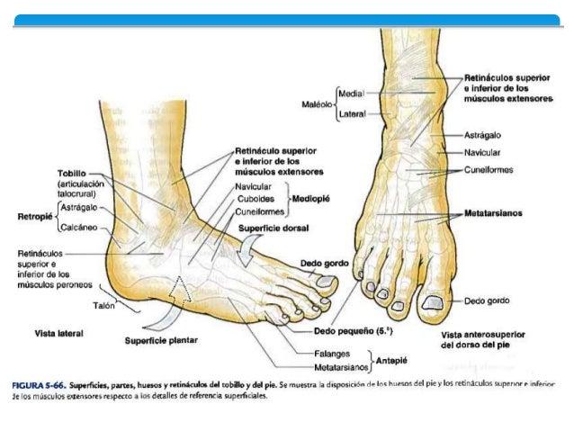 Pie, generalidades, musculos y vascularizacion