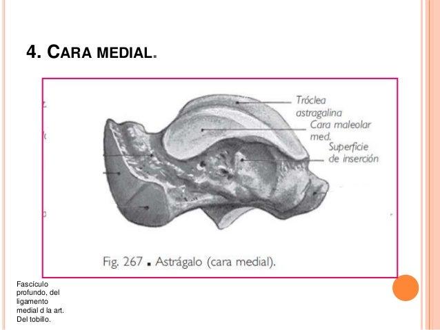 5. CARA ANTERIOR O CABEZA DEL ASTRÁGALO: De la cara inferior del astrágalo