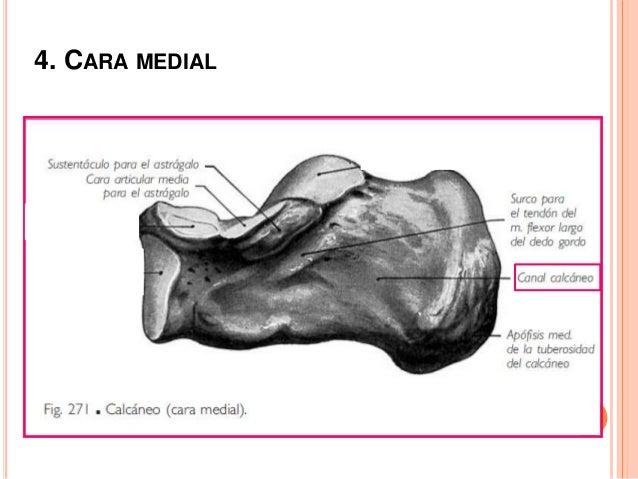 5. CARA POSTERIOR Es estrecha y lisa superiormente y rugosa y ancha en su mitad inferior, donde se fija el tendón calcáneo