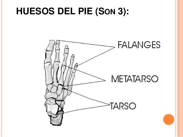 TARSO: UBICADO: Es un macizo óseo. En la parte media posterior del pie. TARSO: UBICADO: Es un macizo óseo. En la parte med...