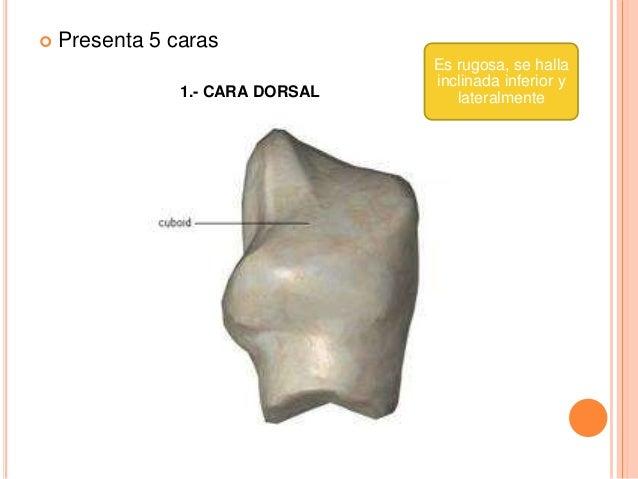 3.- CARA POSTERIOR Se articula con el calcáneo , s.a. Es concava, se prolonga medial, inferior y post. por medio de la ápo...
