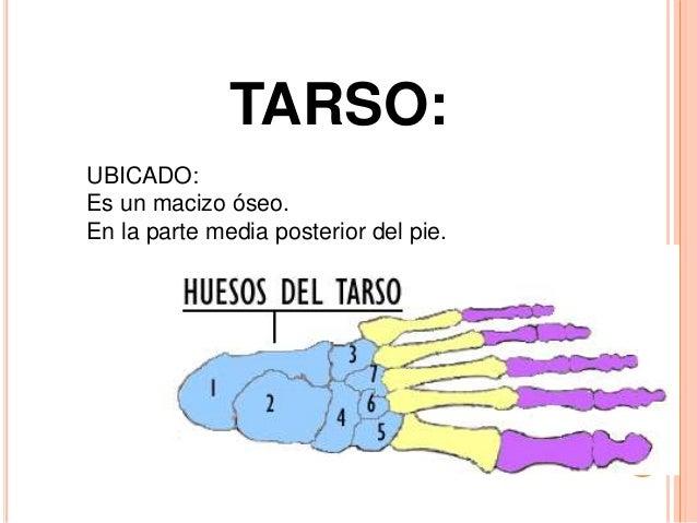 VISIÓN LATERAL TARSO