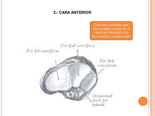 EXTREMOS Son dos: uno medial y otro lateral Extremo medial: eminencia tuberosidad del hueso navicular Extremo lateral: con...