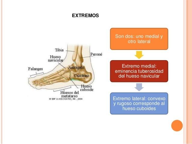 Situado en el borde medial del pie entre los huesos navicular y el 1 metartasiano 1.-HUESO CUNEIFORME MEDIAL