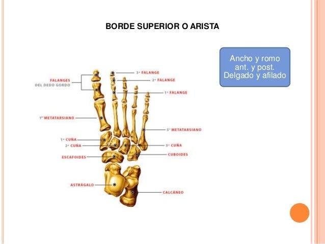 1.- CARA POSTERIOR Es triangular y cóncava se art. con la cara medio del hueso navicular