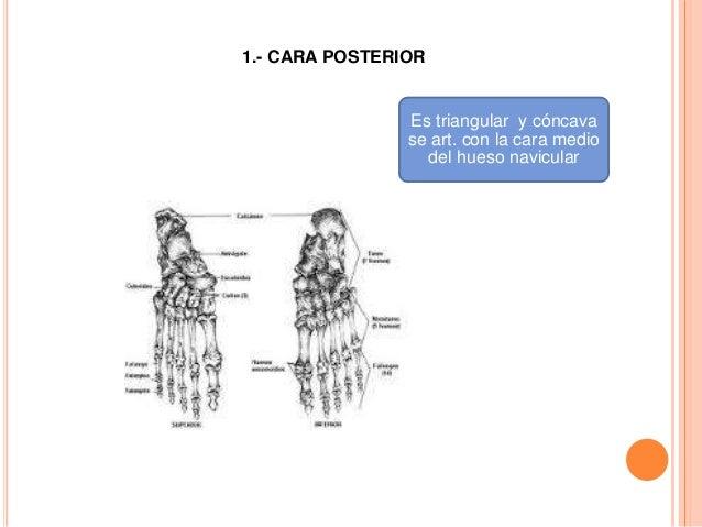 3.- CARAS LATERALES Presenta una superficie articular en forma de escuadra